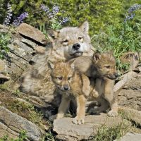 Gray wolf with her cubs at den site