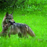 wolf, pup, grass